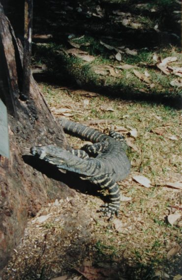 Goanna Feeding Tray